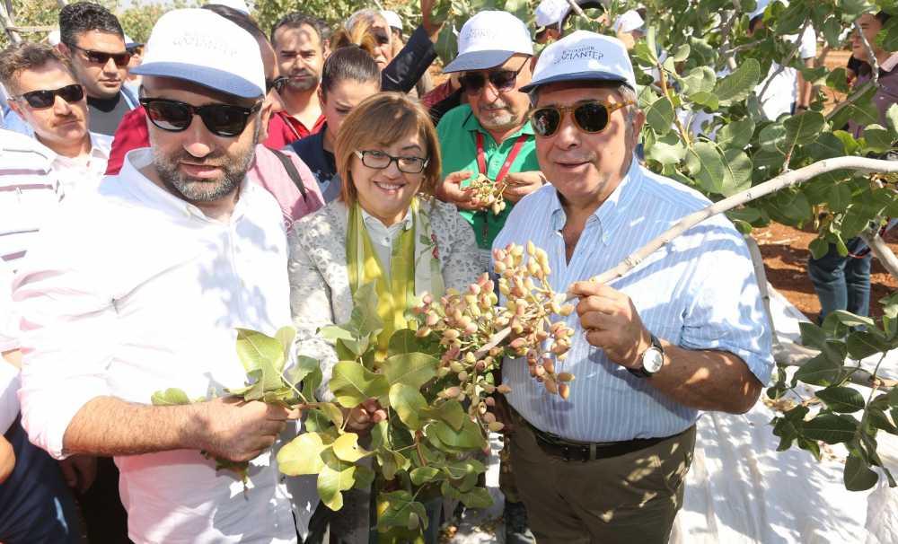 """Gaziantep'teki """"Antepfıstığı Festivali"""" Tarlada Hasat ile başladı"""